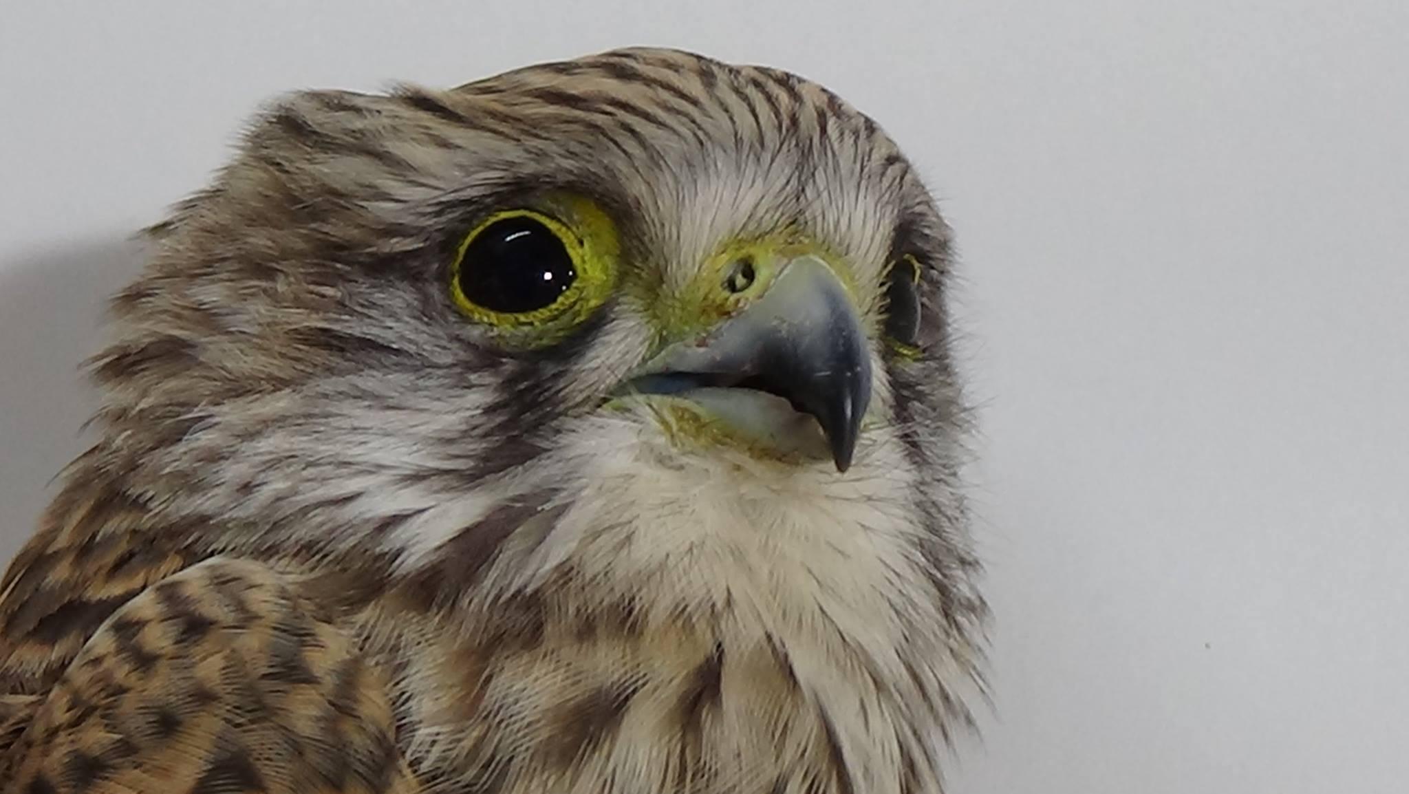 Falke mit Schädelhirntrauma
