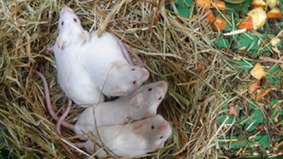 Ausgesetzte Mäuse