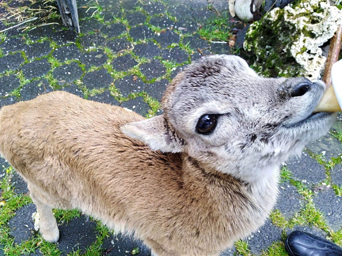Mufflon Lamm ohne Mutter