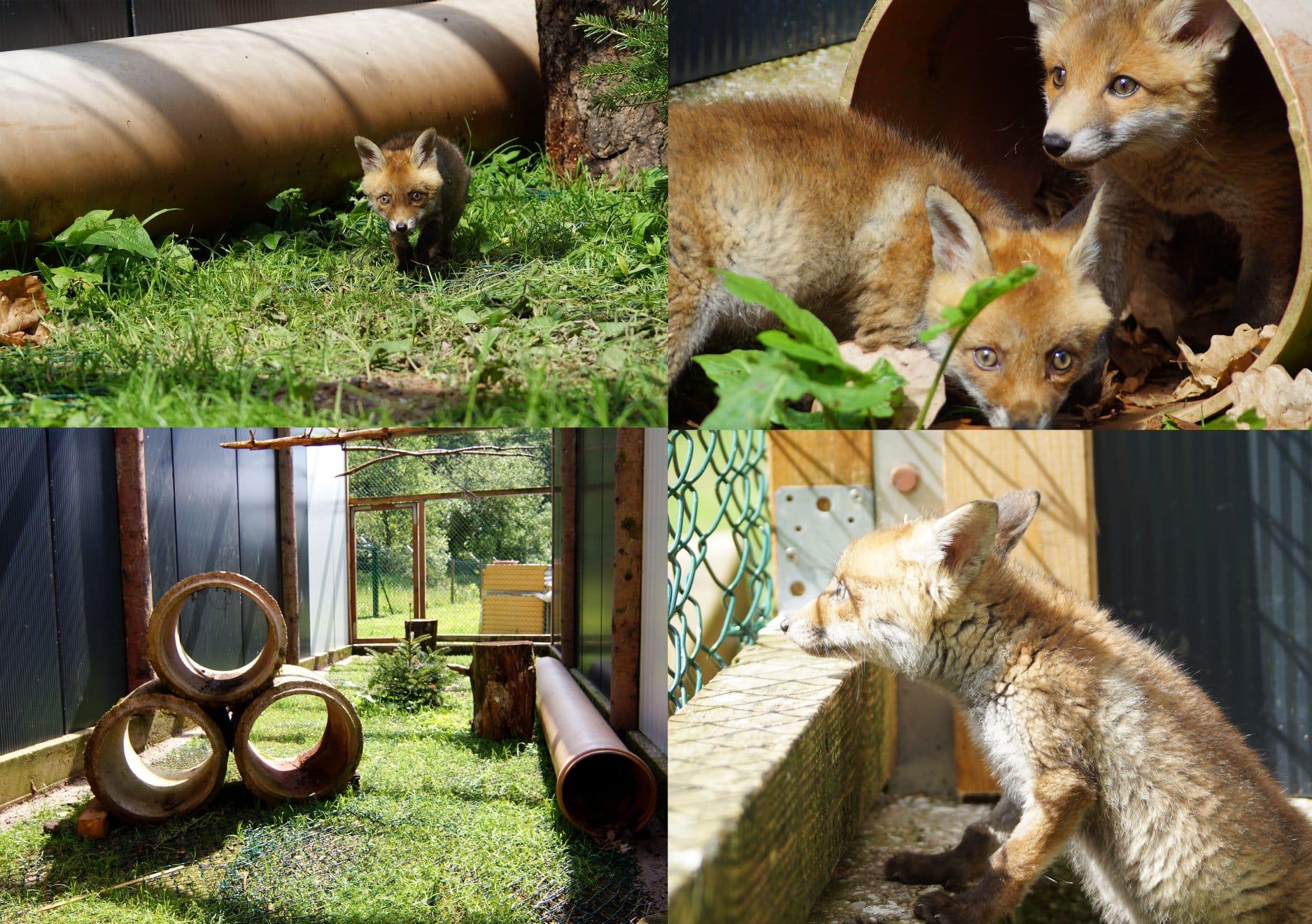Fuchsgehege fertig und neue Bewohner sind eingezogen