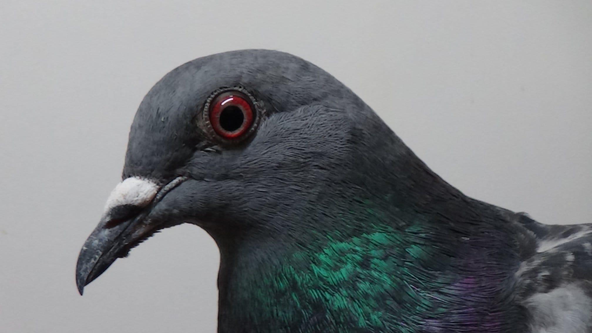 Taube mit Knochenbrüchen