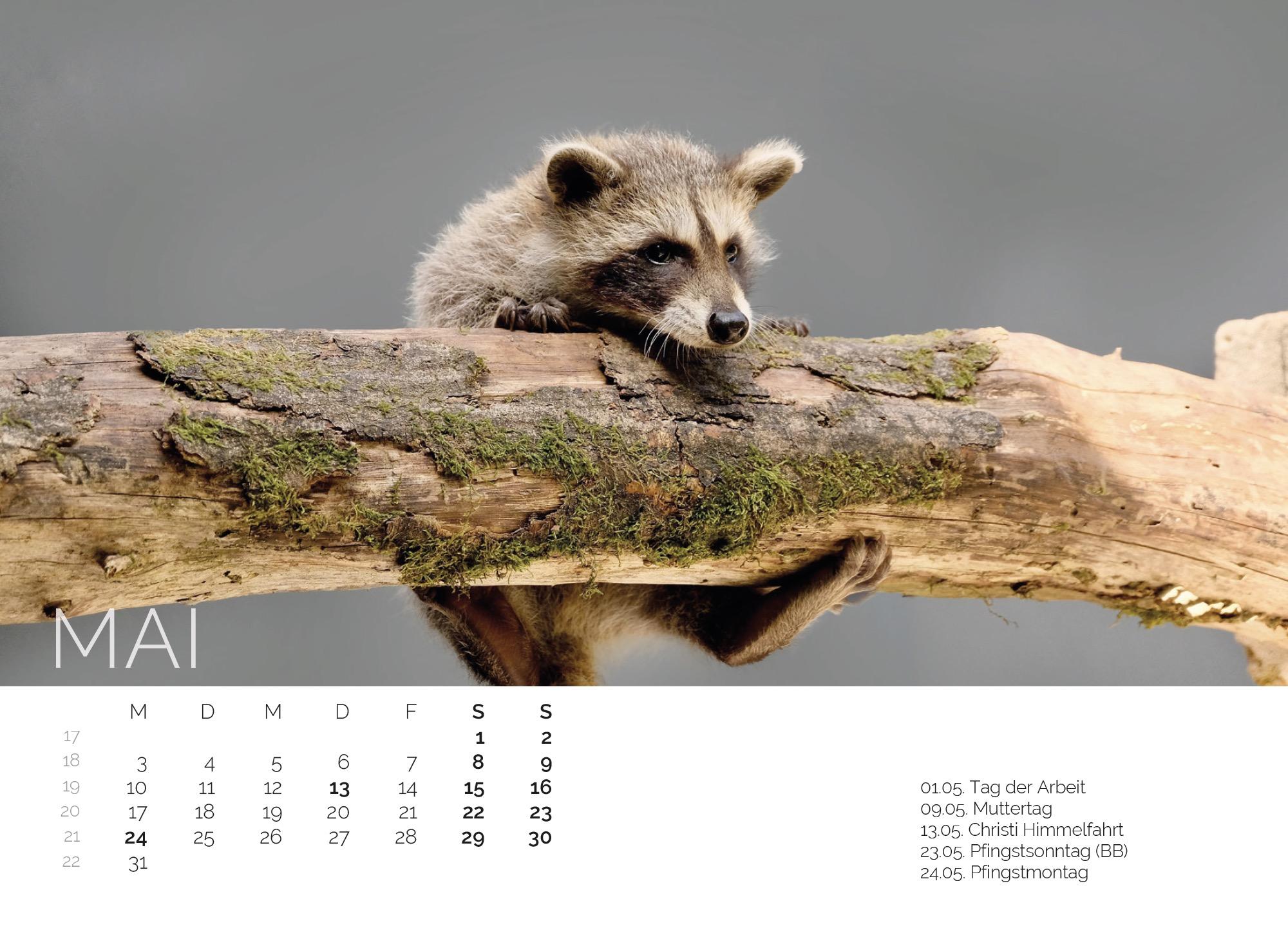 Waschbär Kalender 2021
